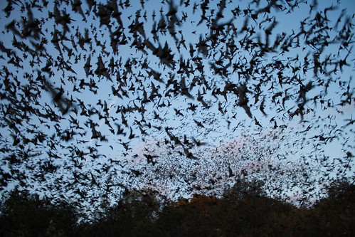 Mexican free-tailed bats exiting Bracken Bat Cave. Photo credit: USFWS/Ann Froschauer