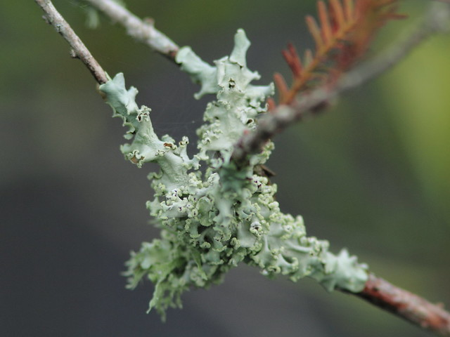 Lichens on Pond Cypress 20120923