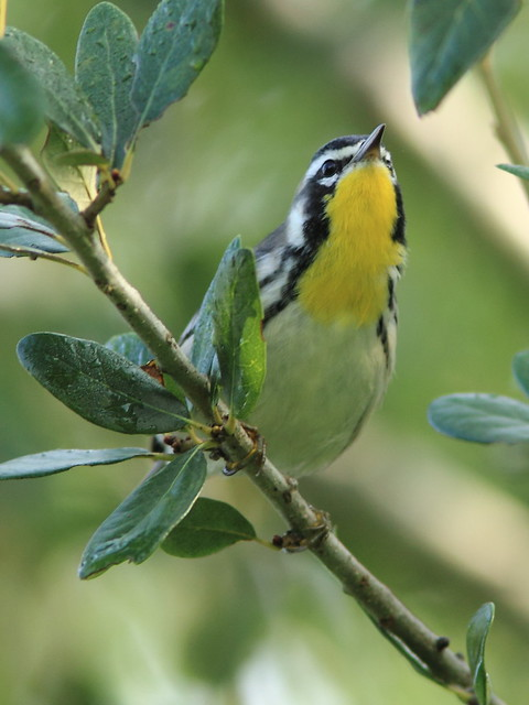 Yellow-throated Warbler 09-20120924
