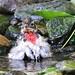 Scruffy, the rose-breasted grosbeak by ricmcarthur