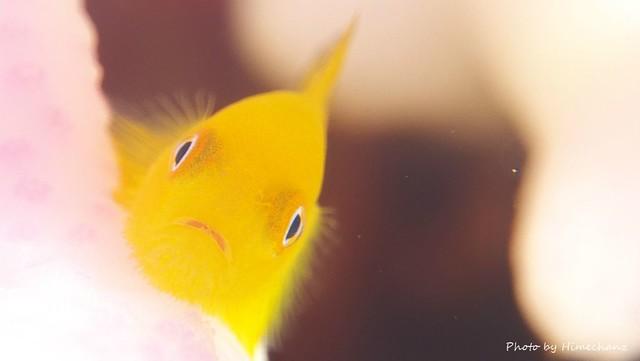こちらも減ったなぁ。。アカネダルマハゼ幼魚ちゃん♪