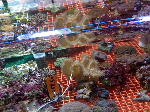 2012-8-8-aquatic_life-alabama-phenix_city-aquraiums-marine-salt_water-fish-invertebrates-live_rock-coral-24