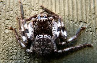 Isopoda immanis Huntsman spider E Collins
