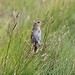 Small photo of Saltmarsh Sparrow (Ammodramus caudacutus)