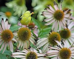 Goldfinch in our Garden
