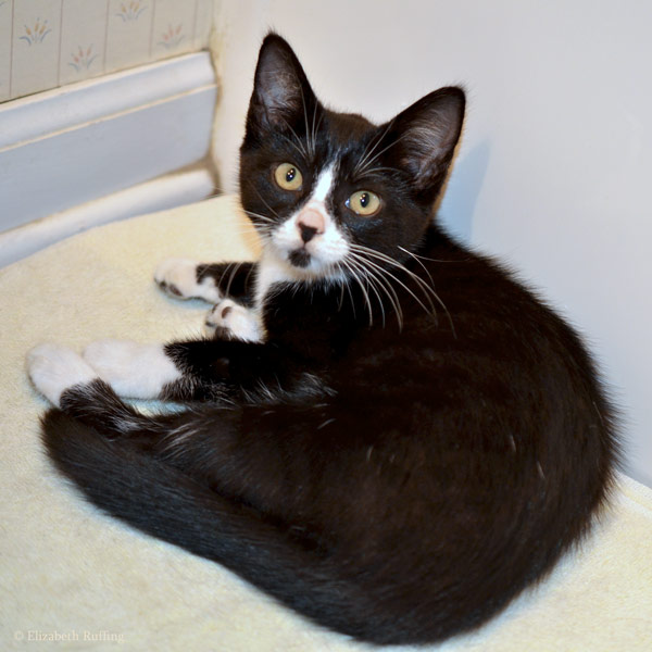 Black-and-white tuxedo kitten, by Elizabeth Ruffing