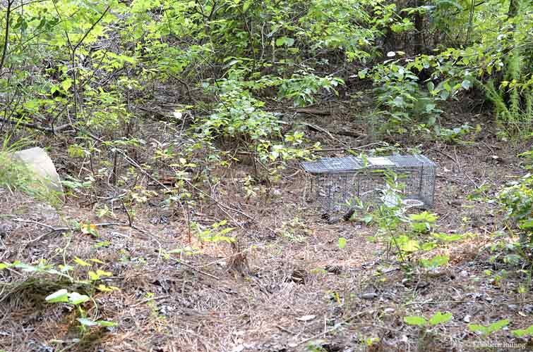 Setting up a trap by the brush pile, by Elizabeth Ruffing