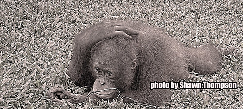 orangutan musing by IntimateApe