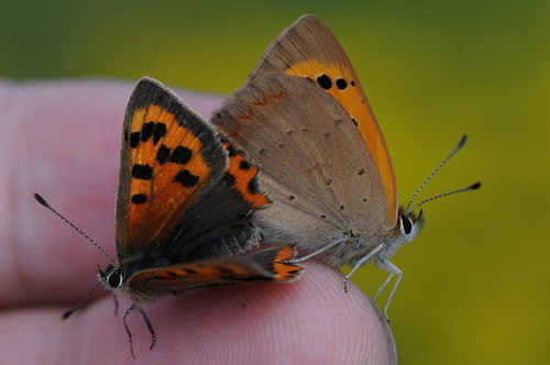 the Small Copper Butterfly series (v)