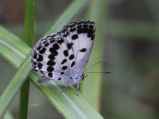 IMG_6330白雀斑小灰蝶 Phengaris daitozana