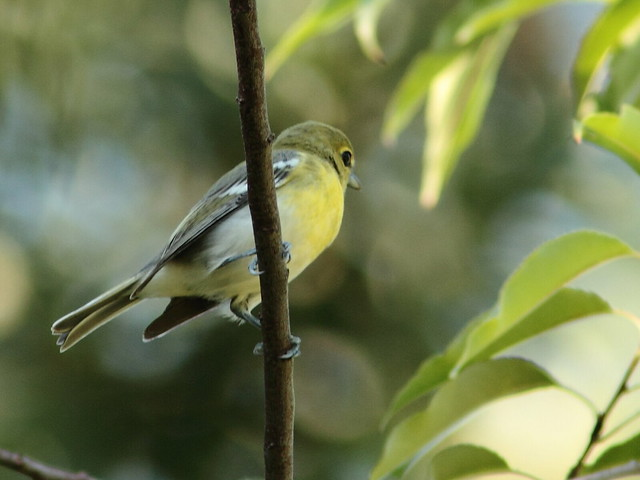 Yellow-throated Vireo 20120828