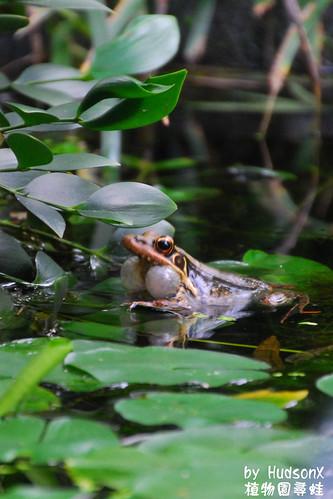 貢德氏蛙吹泡泡