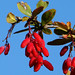 European Barberry - Photo (c) Werner Witte, some rights reserved (CC BY-NC)