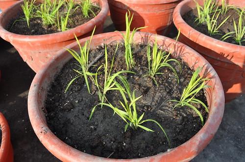 矮種稻讓民眾體會不同的插秧經驗。(圖片來源:國家作物種原中心)