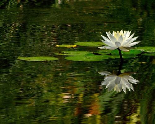 california flowers white flower nature water gardens garden landscape pond nikon lily library huntington d3100