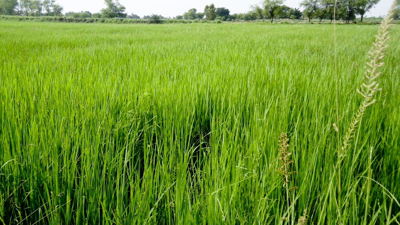 rice industry of pakistan Lahore: pakistan has struck an unprecedented deal with philippines for the export of hybrid rice seed to the southeast asian nation, an industry official said on.