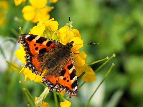 Tortoiseshell Butterfly 001