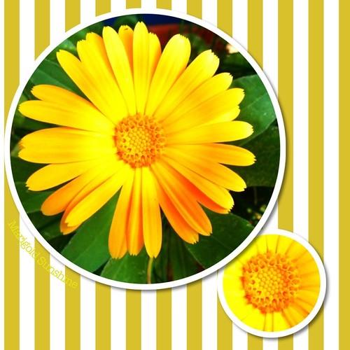 Marigold Sunshine
