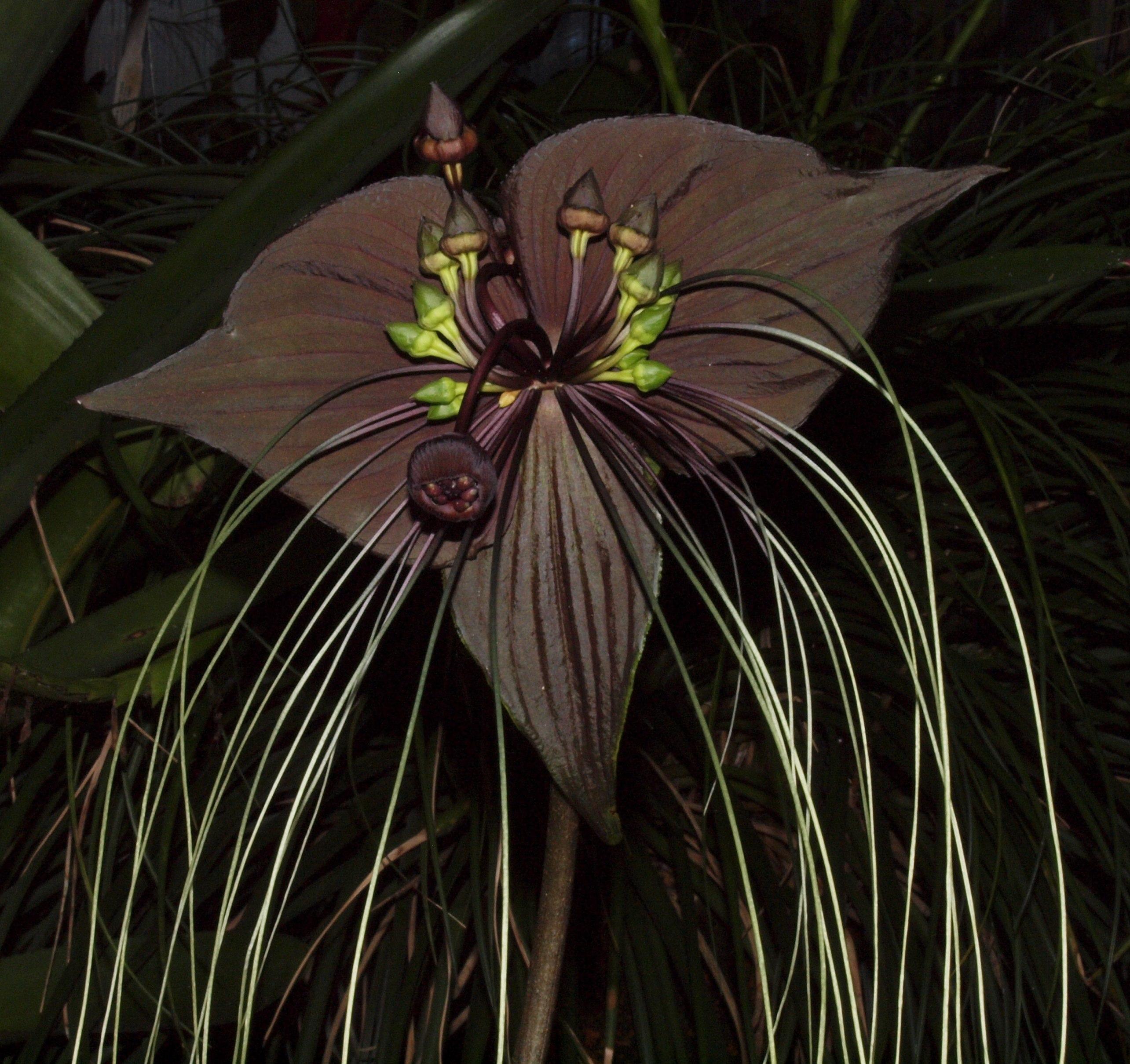 BAT PLANT I lust this flower Plants Flowers