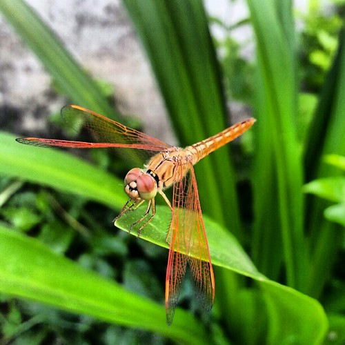 Dragonfly (no zoom) by thomaswanhoff