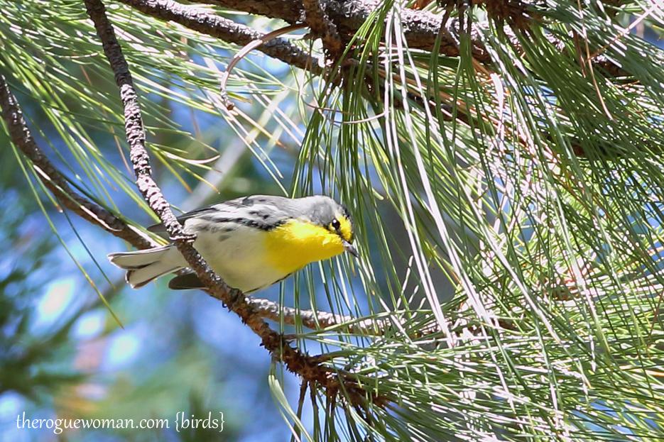 090312_09_bird_warble_gracesWarbler1