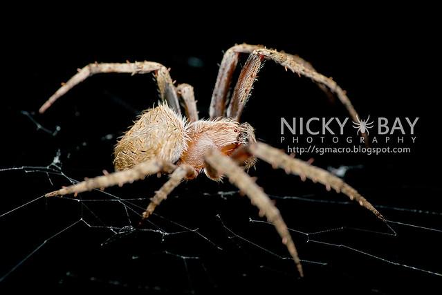 Orb Weaver Spider (Araneidae) - DSC_5074
