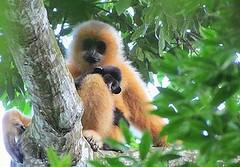 海南長臂猿(Nomascus hainanus),母猿和幼猿,目前中國海南島僅存20隻。牠們生存的威脅主要是狩獵和棲地破壞。布萊恩特(Jessica Bryant)擁有照片所有權。