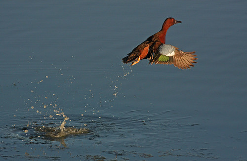 Cinnamon Teal Liftoff, Las Gallinas Ponds, San Rafael, California