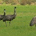 Emus (Peter Taylor)
