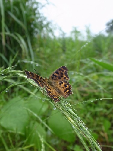 キタテハ 2012.06.12 1130