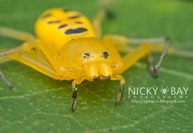 Eight Spotted Crab Spider (Platythomisus octomaculatus) - DSC_3017