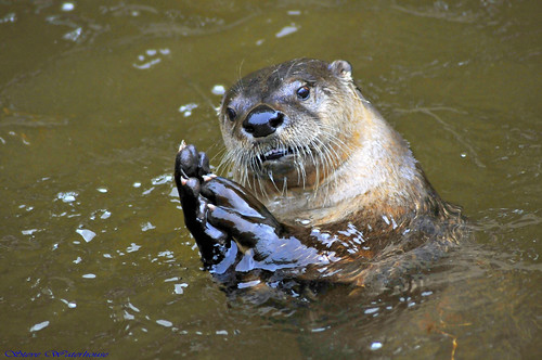 Otter.(Praying).