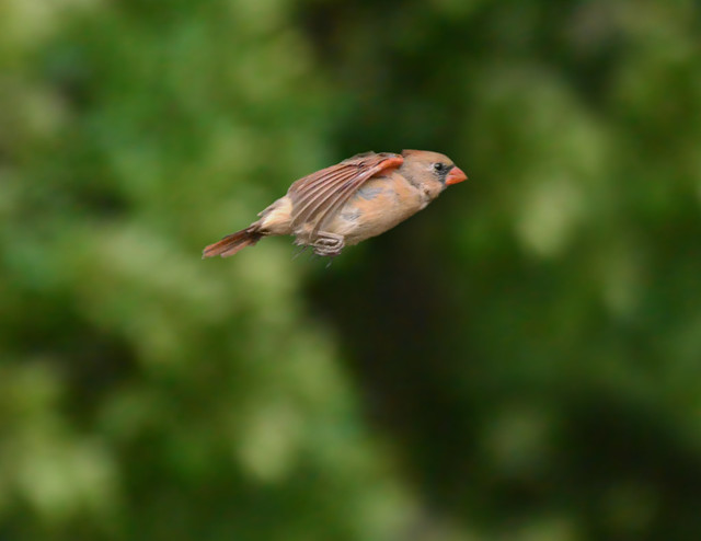 Female cardinal in flight - photo#18