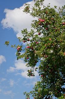 Apples-0146