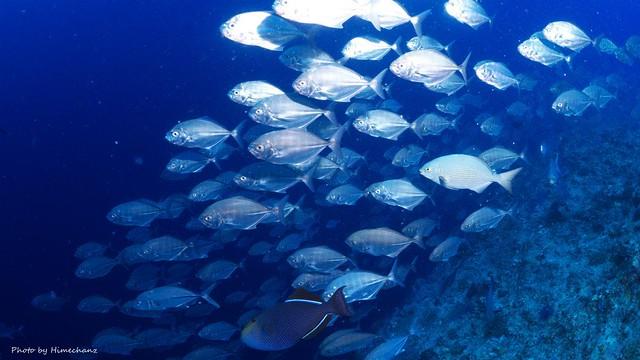 石垣島ではなかなか簡単に見ることができない魚の群れ達を体感してみませんか!?