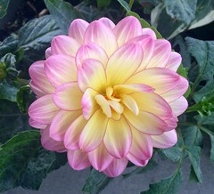 Dahlia at the Workplace