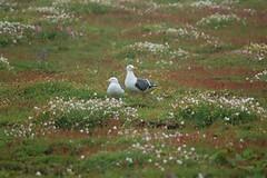 Lesser Black-backed Gull breeding pair