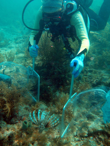 Catching Lionfish with Nets