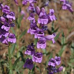 Penstemon venustus