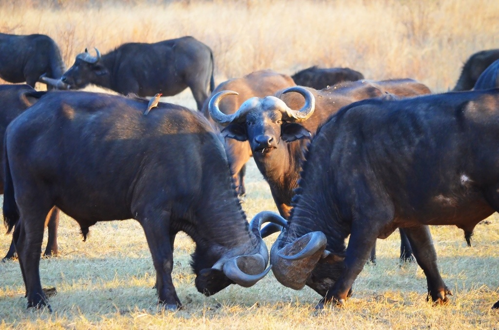 Cape Buffalo Stanley and Livingstone Resort