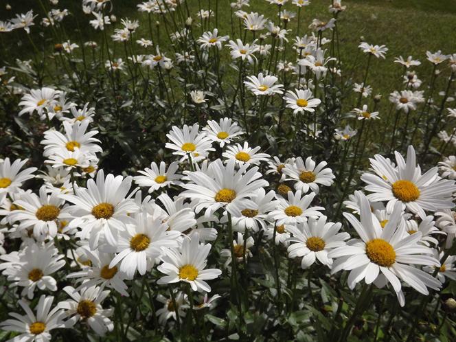 big_daisy