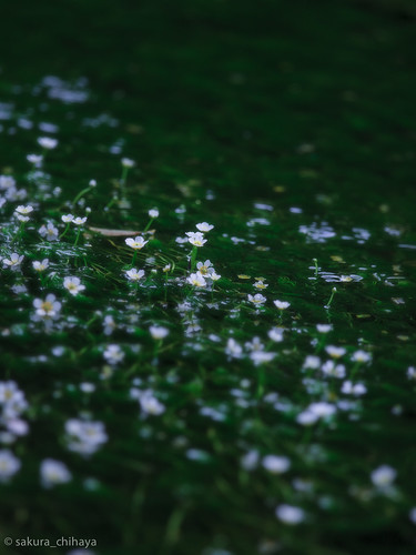 25996_Ranunculus nipponicus var. submersus by sakura_chihaya+