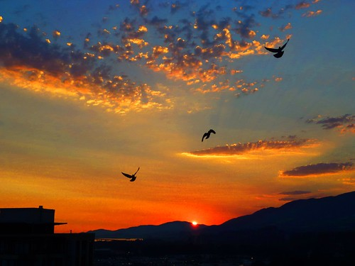 Three pigeons soaring on the wings of a glorious sunset