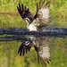 Osprey in water with reflection