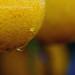 Fresh Lemons on tree