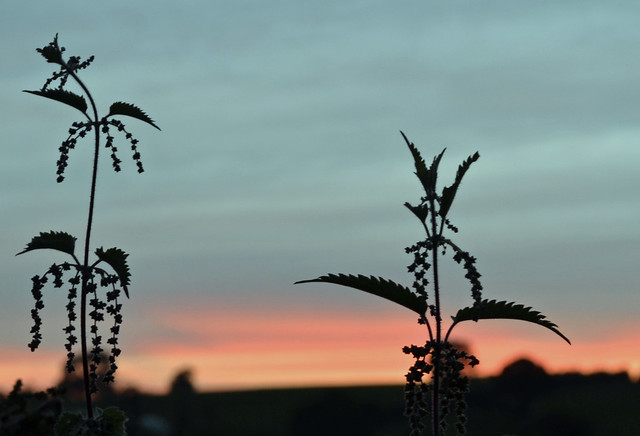 Nettles at sunset