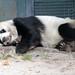 2012 08 20 Zoo Berlin - Bao Bao 009 by giantpandazoo.com