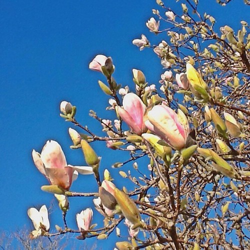 Magnolia tree is blooming, gorgeous weather. Time to hit the garden, pulling out weeds and preparing veggie beds for later planting. #iphonesia #nz #spring #flower