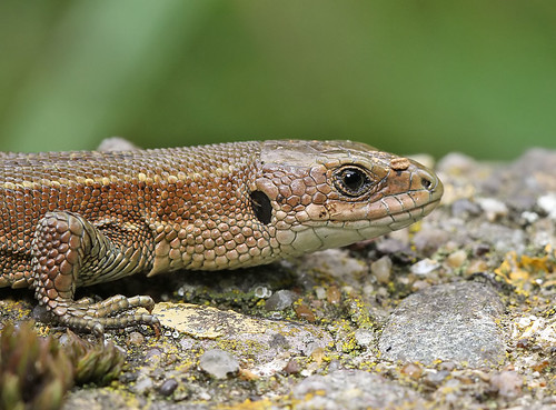 Common (or viviparous) lizard - Zootoca (Lacerta) vivipara