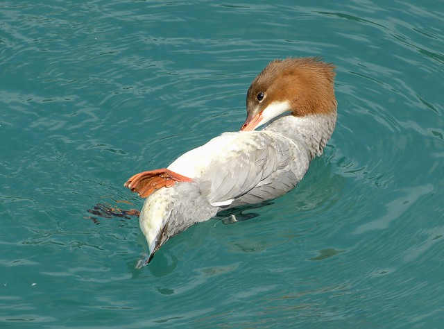 Goosander, Switzerland